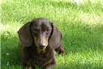Dachshund for sale