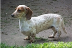 Picture of Cee Cee, she a smooth red piebald (6 yrs)