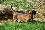 Picture of Milo is a red brindle smooth dachshund