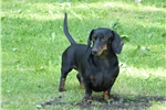 Dachshund, Smooth for sale