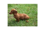Picture of a Smooth Dachshund Puppy