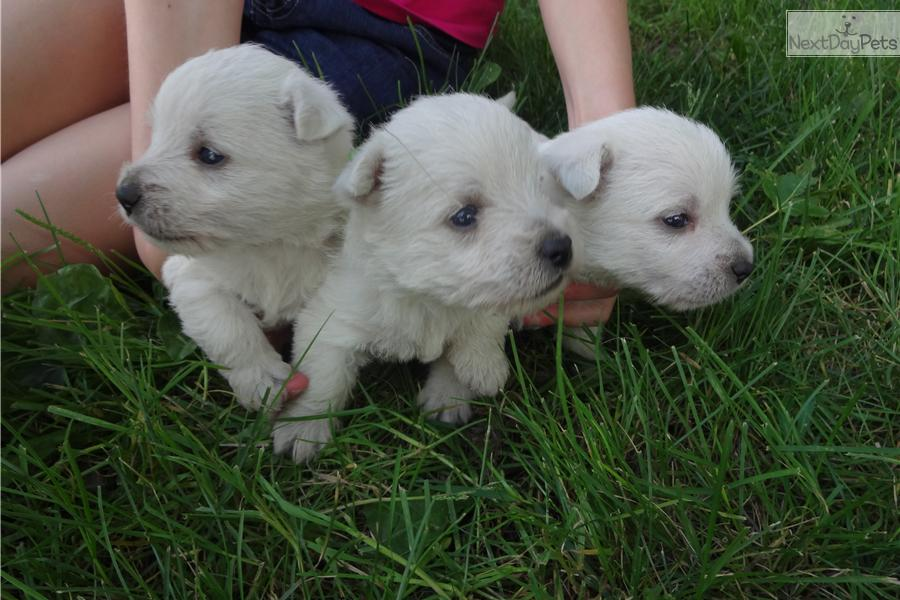 n y full akc female  west highland white terrier
