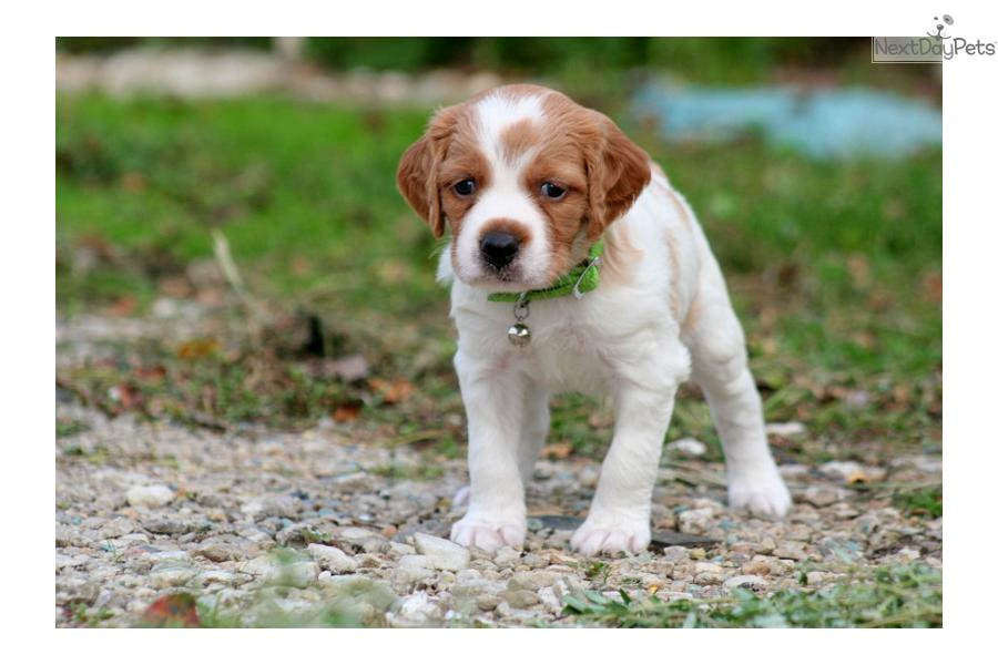French brittany spaniel puppies