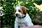Picture of Drake (French Brittany)