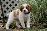 Picture of Bella (French Brittany)