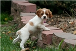 Picture of LaPree (French Brittany)