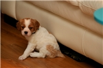 Picture of Keeko (French Brittany)