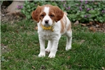 Picture of Laney (French Brittany)