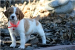 Picture of Kota (French Brittany)