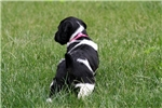 Picture of Koko(French Brittany)