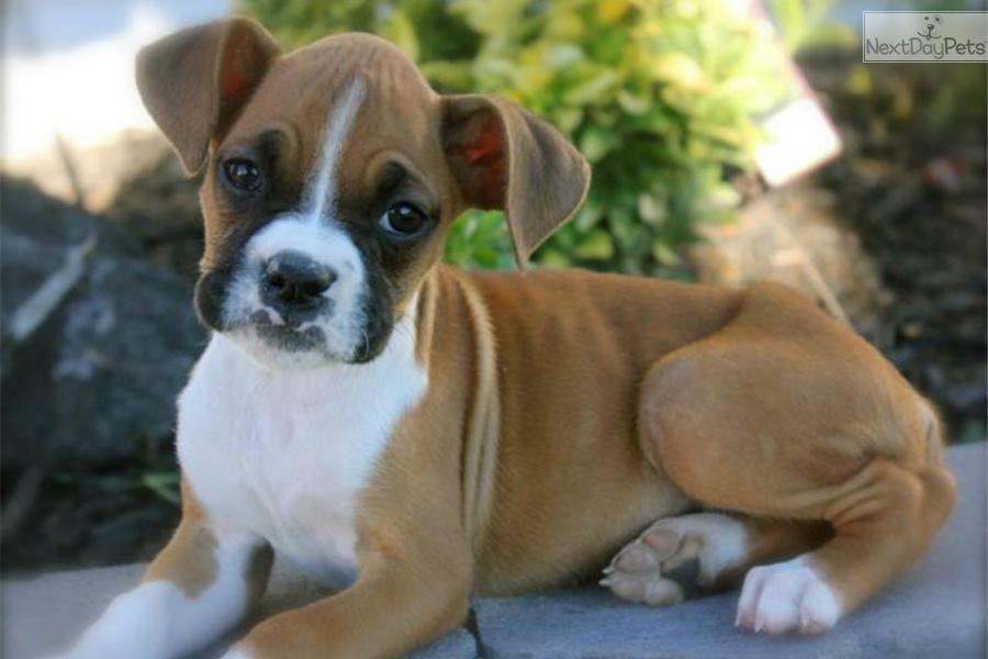 Baby Boxer Beautiful boxer baby White Baby French Bulldog