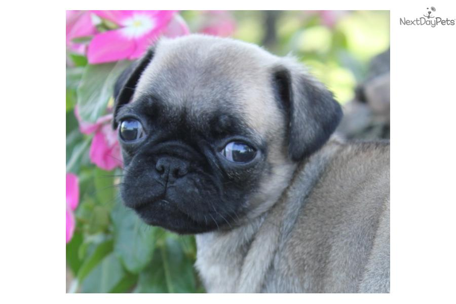 go back images for baby pugs for free images frompo