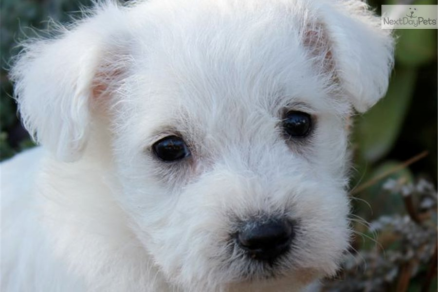 ... Schnoodle puppy for sale for $550. Adorable, Friendly Schnoodle Boy