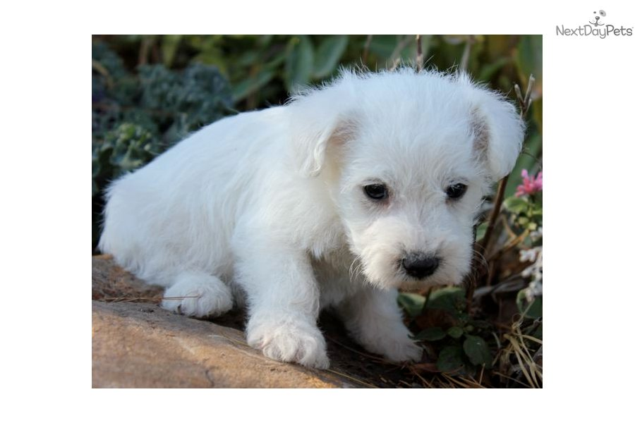 Schnoodle puppy for sale near joplin missouri 82d4d129 b0f1