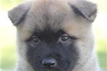 Picture of Felix~Beautiful Akita Boy!