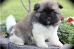 Picture of Flash~Gorgeous Akita Pup!