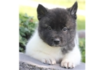Picture of Fiona~Strong, Beautiful Akita Girl!