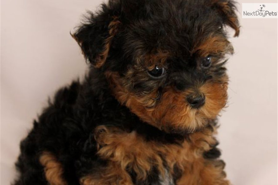 Meet Tabitha A Cute Yorkiepoo Yorkie Poo Puppy For Sale