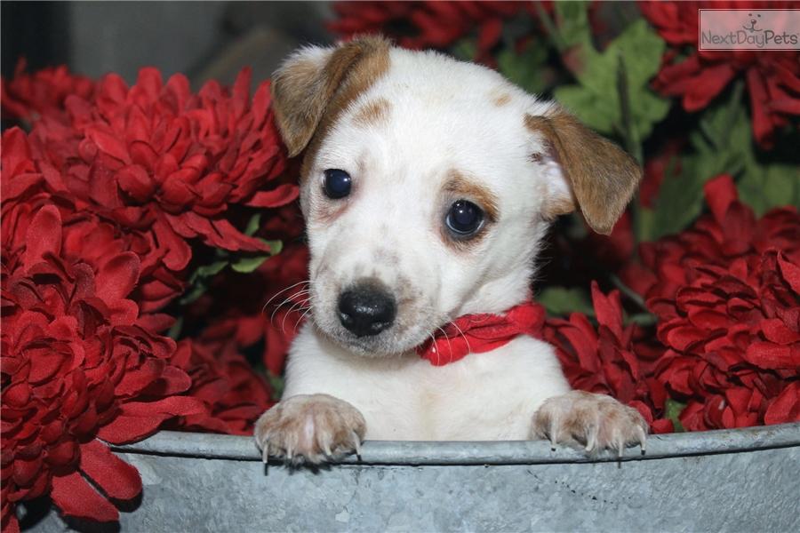 Terrier puppy for sale near dallas fort worth texas ecb88c1b aee1