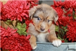 Picture of Sophie~ www.marshaspuppies.com ~