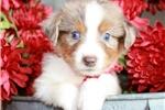 Picture of Cooper~ www.marshaspuppies.com ~