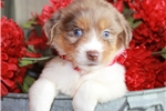 Picture of Daisy~ www.marshaspuppies.com ~