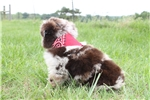 Picture of Cowboy~ www.marshaspuppies.com ~