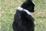 Picture of Trevor~ www.marshaspuppies.com ~