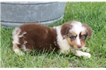 Picture of Becky~ www.marshaspuppies.com ~