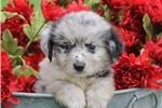 Picture of Garrett~ www.marshaspuppies.com ~