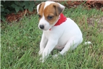 Picture of Max~www.marshaspuppies.com