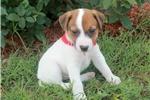 Picture of Hank~www.marshaspuppies.com
