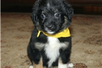 Picture of Zack~ www.marshaspuppies.com ~