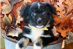 Picture of Molly~ www.marshaspuppies.com ~