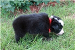 Picture of Bandit~www.marshaspuppies.com