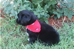 Picture of Abby~www.marshaspuppies.com