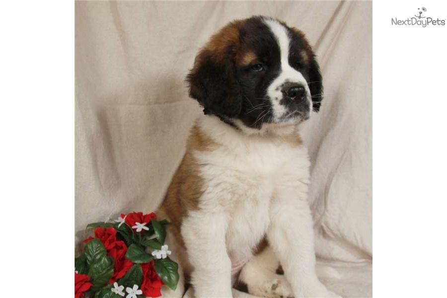 saint berdoodle   st berdoodle puppy for sale near tulsa
