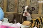 Picture of Boston Terrier puppies (www.silverpawspuppies.net)