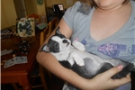 Picture of Boston Terriers (silverpawspuppies.net)