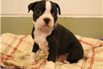 Picture of Boston Terrier puppies at (silverpawspuppies.net)