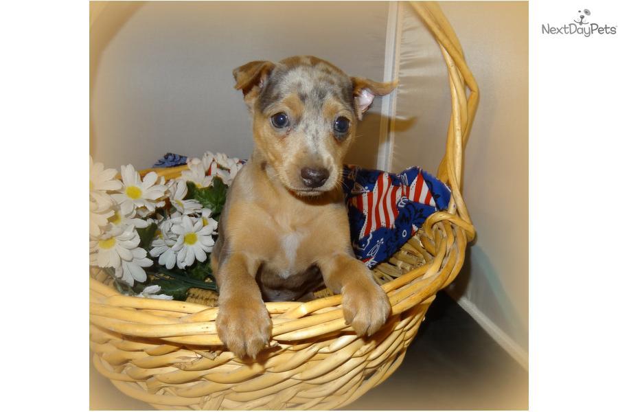 Miniature Pinscher 0061jpg | Dog Breeds Picture