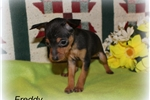 Picture of Tiny black/tan Freddy