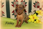 Picture of Chocolate tan Merle Finley