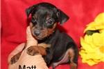 Picture of AKC Matt Black/rust male