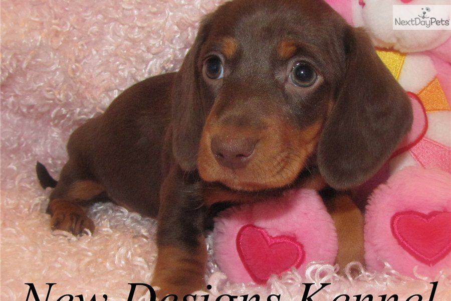 Chocolate And Tan Dachshund Tan Dachshund Puppies
