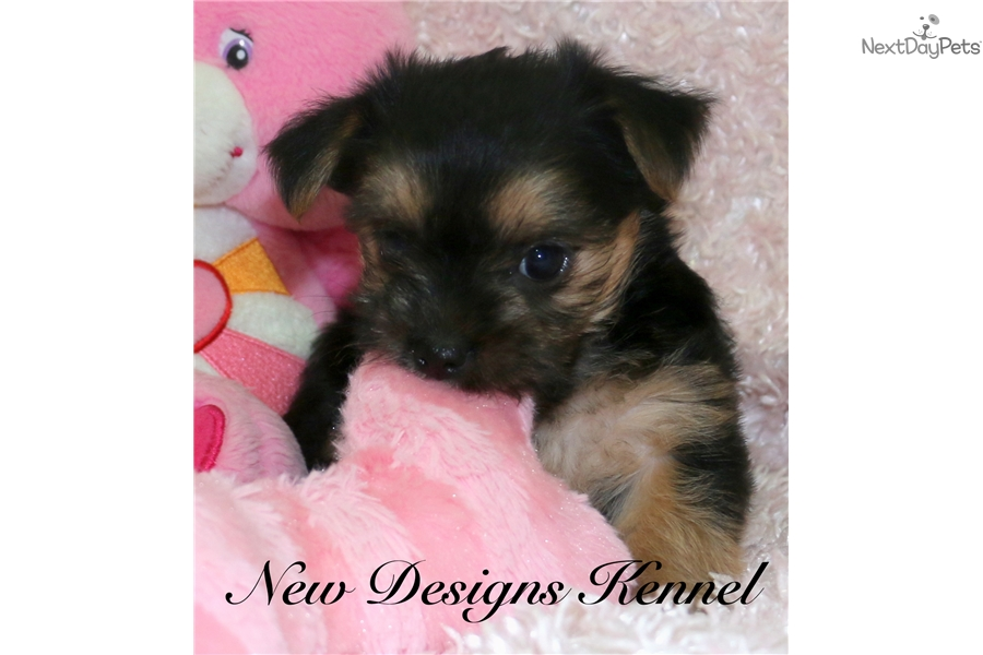 Morkie Puppies For Sale Iowa >> Nala: Morkie / Yorktese puppy for sale near Fort Dodge, Iowa | b1c8fefc-f761