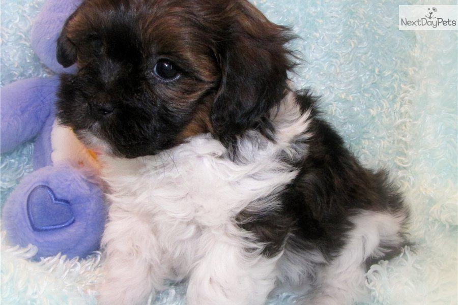 Pics Photos - Shih Poo Dog Breed Shih Tzu Poodle Mix Breeders Puppies