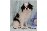 Picture of Ren - Stunning Tri Boy!  Tiny and Adorable.
