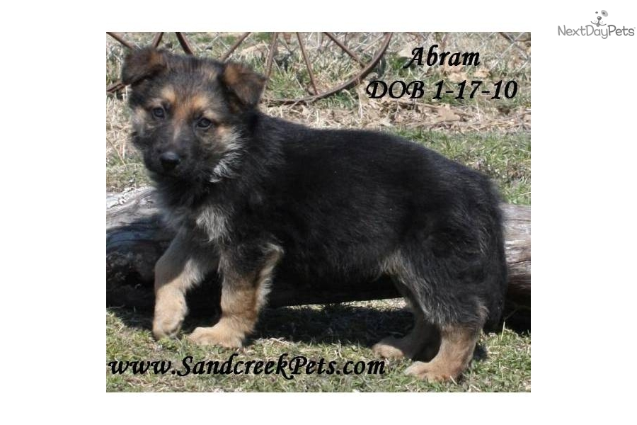 German Shepherd Dogs For Sale In Washington