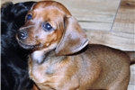 Picture of Sandcreek Pets AKC smooth Red male